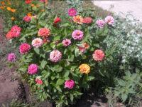 Цветы лета 2021 на территории ТОС «Военный городок» Сызрань